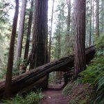 USA Westküste – Roadtrip (Teil 2)-Red Wood Trees3